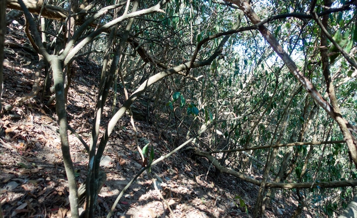 Mountainside - overgrown - trees, vines and fallen trees