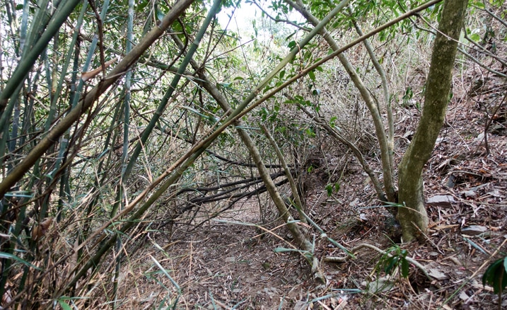 Mountain jungle - trees and vines - overgrowth