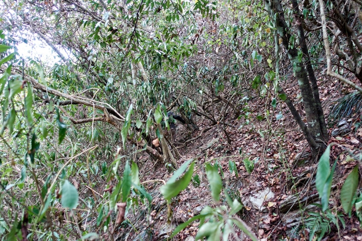 Taiwan mountainside jungle - trees and vines overgrowth